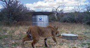 Bobcat and wildlife water guzzler.