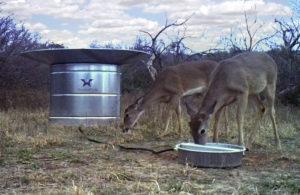 Deer drinking at a TMT wildlife water guzzler.